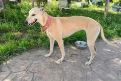 Beautiful Galgo Ana - dogs for adoption SOS Animals Spain