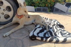 Ana relaxing in the sunshine - dogs for adoption SOS Animals Spain