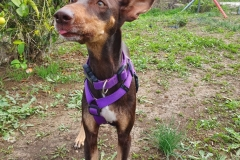 Annie the Podenco Orito - dogs for adoption SOS Animals Spain