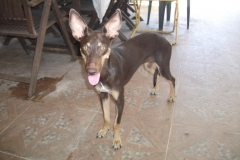 Annie showing her beautiful Podenco ears - dogs for adoption SOS Animals Spain