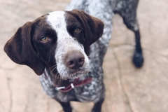Beautiful pointer Bea - dogs for adoption SOS Animals Spain