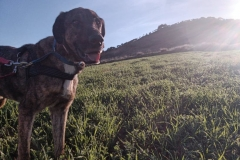 Ben on an early morning walk - dogs for adoption SOS Animals Spain