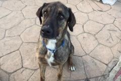 Mastin/Shepherd cross Ben - dogs for adoption SOS Animals Spain