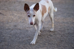 One of our oldest residents Campo - sponsor dogs at SOS Animals Spain