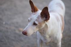 Sweet Campo - sponsor dogs at SOS Animals Spain