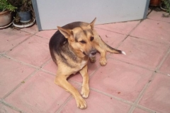 Beautiful girl Chica - dogs for adoption SOS Animals Spain