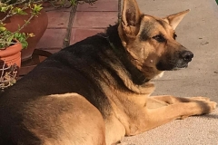 Chica is a lovely gentle dog - dogs for adoption SOS Animals Spain