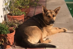 Gentle six-year old Chica - dogs for adoption SOS Animals Spain