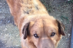 Big handsome boy, Digby - dogs for adoption SOS Animals Spain