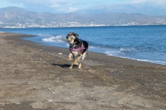 Hardy playing on the beach sponsor dogs at SOS Animals Spain