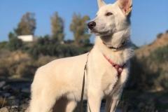 Hilton enjoying his morning walk - dogs for adoption SOS Animals Spain