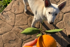 Hilton wonders if he can play ball with the oranges - dogs for adoption SOS Animals Spain