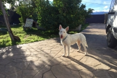 Ivy waiting for the volunteers - sponsor dogs at SOS Animals Spain