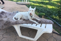 Ivy relaxing after the morning walk - sponsor dogs at SOS Animals Spain