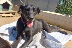 Jo, a lovely easy-going senior boy - dogs for adoption SOS Animals Spain