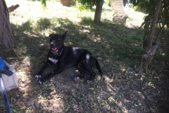 Lola enjoying time in the shade in our shelter garden - dogs for adoption SOS Animals Spain