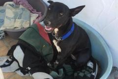 sos-animals-spain-dogs-for-adoption-lola-4
