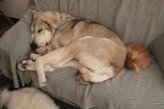 Lucky in her current foster home - dogs for adoption SOS Animals Spain