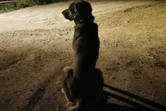 Beautiful young mastin Lucky - dogs for adoption SOS Animals Spain