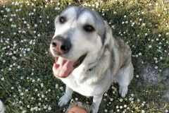 Gentle mastin Lucky - dogs for adoption SOS Animals Spain