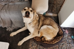 Lucky trying to squeeze into a small bed - dogs for adoption SOS Animals Spain