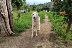 Naomi exploring the orange groves - dogs for adoption SOS Animals Spain
