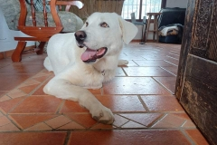 Naomi relaxing in the volunteer house - dogs for adoption SOS Animals Spain