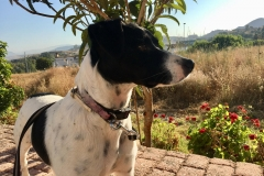Handsome boy Nils - dogs for adoption at SOS Animals Spain
