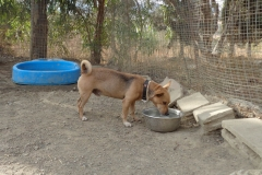 Ronnie in the playpen - dogs for adoption at SOS Animals Spain