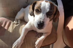 Tilda in her favourite chair - sponsor dogs at SOS Animals Spain